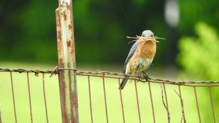 Bluebird12grassa