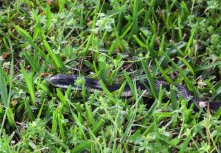 Snake29c