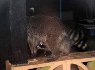 Raccoons10d