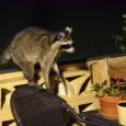 Raccoons10e