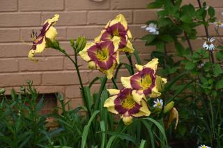 Lilies7