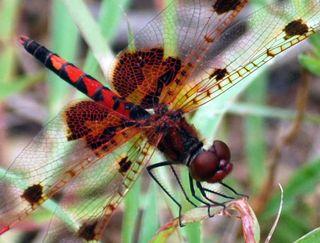 Red dragoncloseMay31
