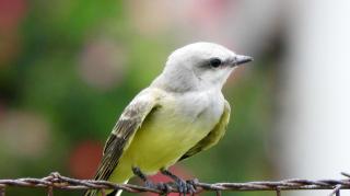 Kingbird3f