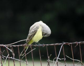 Kingbird3b