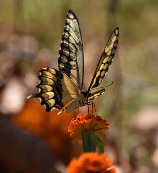 Swallowtail22a