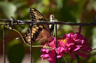 Swallowtail22d