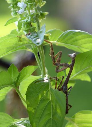Mantis8a