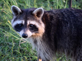 RaccoonMay21c