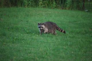 RaccoonMay23h