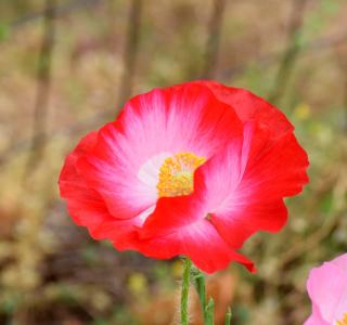 Poppies6c
