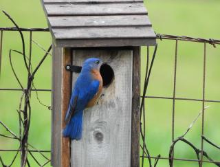 Bluebird3a