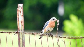 Bluebird12grass_edited-1