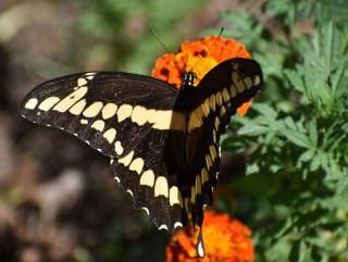 Swallowtail22g