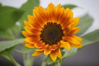 Sunflower20