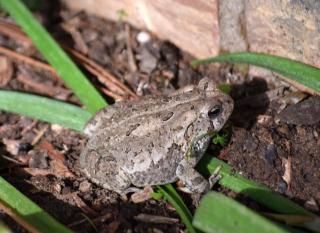FrogAp25a