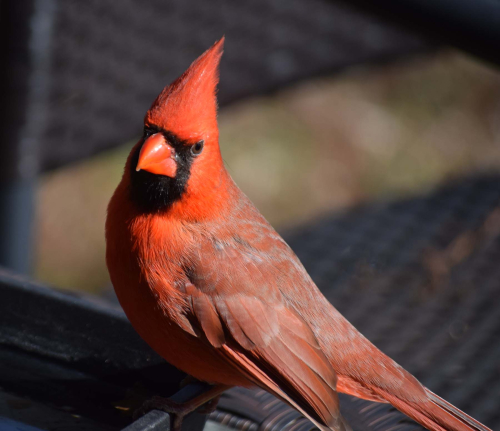 Cardinal, February