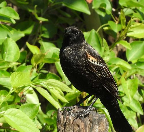 Female Red-Wing Blackbird