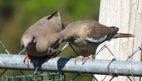 Dove pair on fence