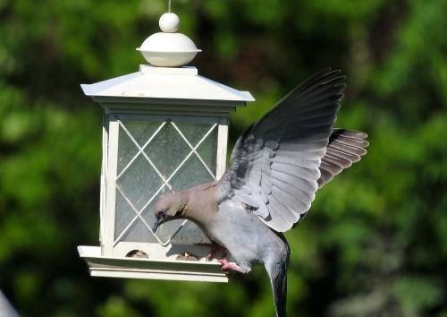 Stubborn Dove