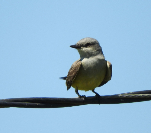 Kingbird on power line