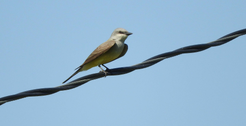 Kingbird on the wire