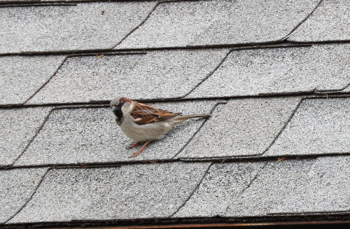 Sparrow on shed roof