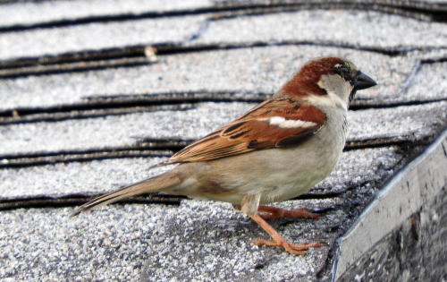 Sparrow on shed