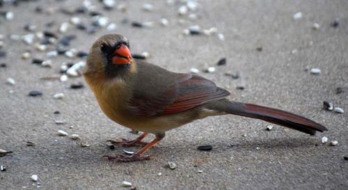 Cardinal February