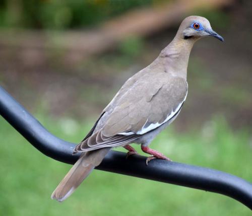 Dove May