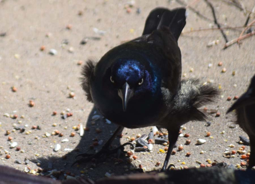 Grackle March