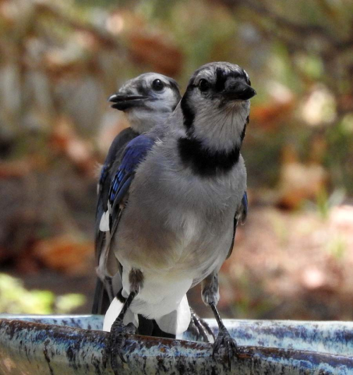 two jays, August