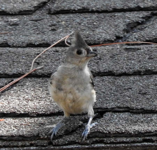 Titmouse roof