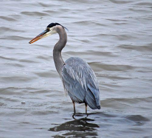 Blue heron December