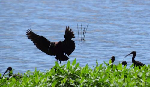 Glossy ibis wings
