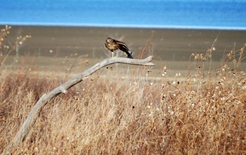 Hawk August