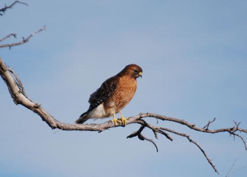 Hawk guard