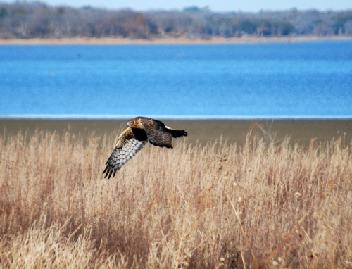 Hawk fly2