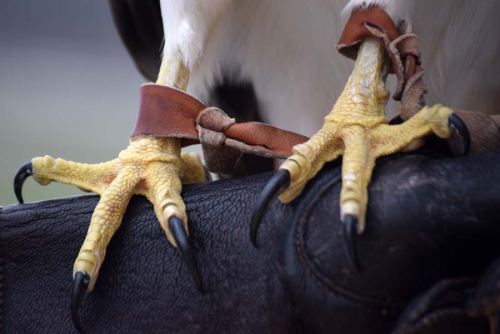 Hawk feet