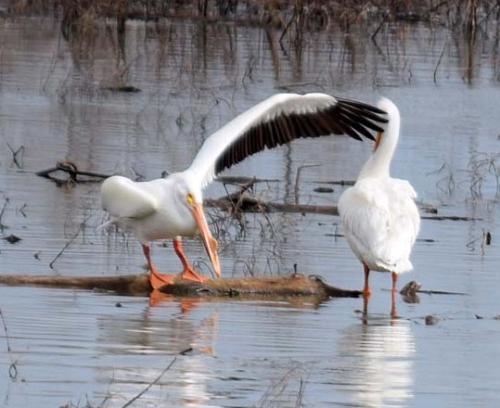 Pelican wing