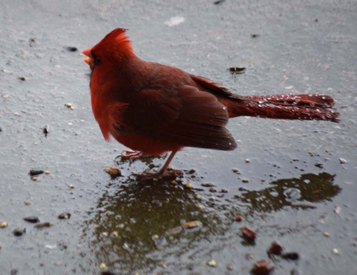Cardinal with icy tail