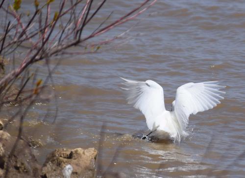 Egret wings