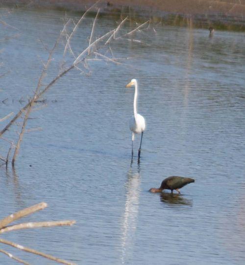 Egret and Cormorant