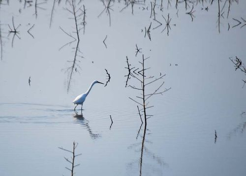 Walking heron