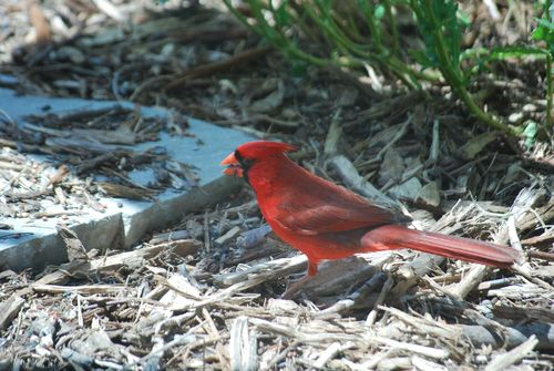 Cardinal on ground