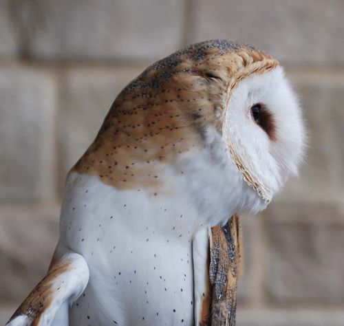 Barn owl head