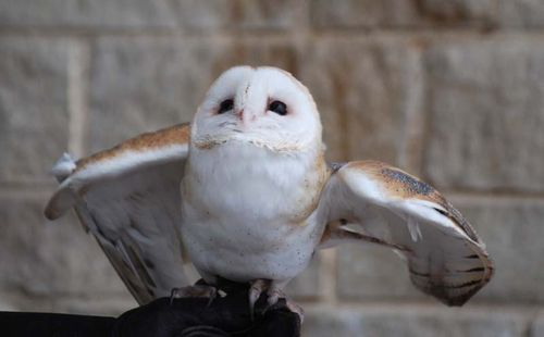 Barn owl- too cute