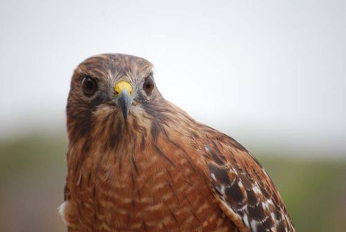 Red shouldered hawk eyes