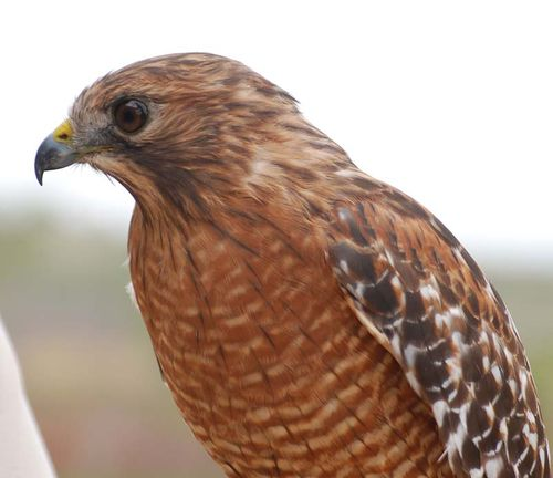 Red-shouldered hawk head