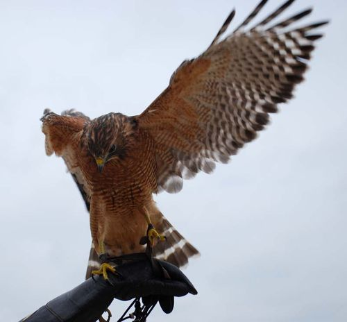 Red-shouldered hawk wing