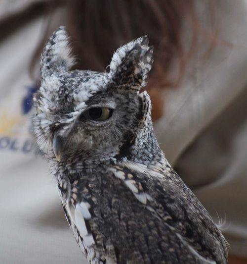 Screech owl head